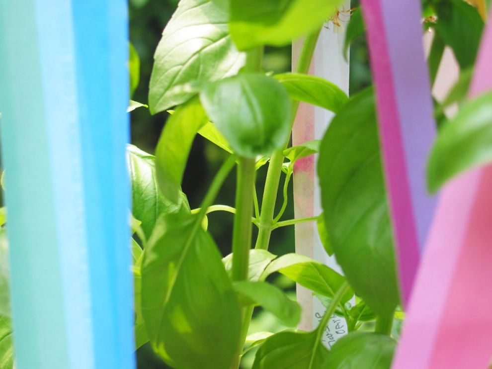 TanabataBasilPlant