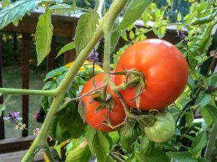 tomatoharvest