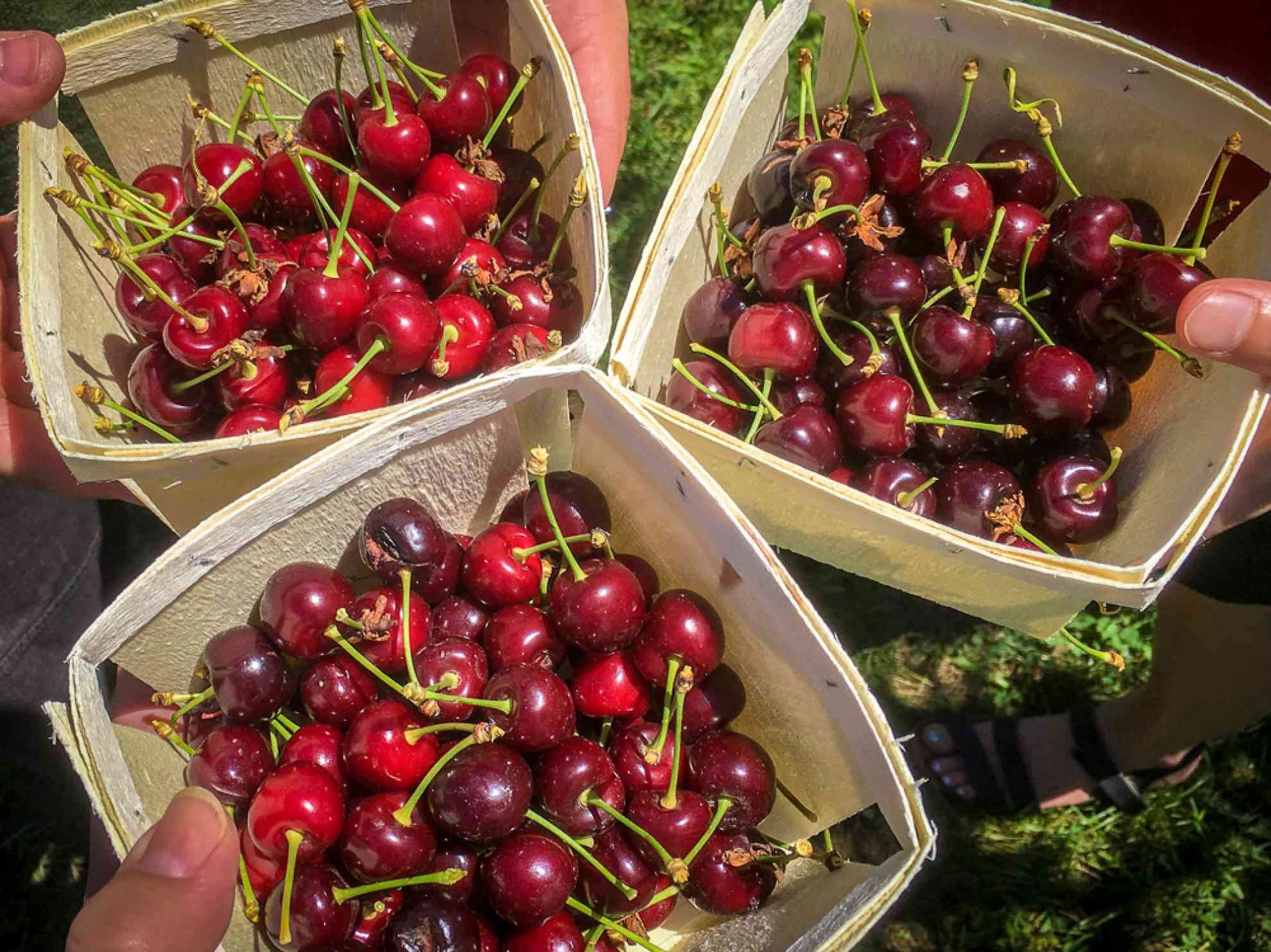 Cherry Picking at Brookdale Fruit Farm