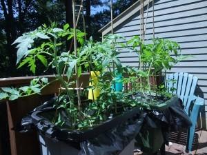 Deck Tomato Update